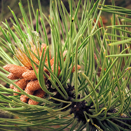 Pine by Del Candler - Nature Up Close Trees & Bushes ( pollen bearing cones, tree, green, needles, yellow, pine, cones )