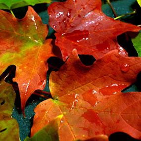 Bursting With Color by June Morris - Nature Up Close Leaves & Grasses ( grasses, pwcfallleaves, nature, color, bursting, leaves, close, up,  )