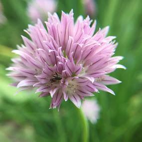 Purple flower  by Enry Ci - Flowers Single Flower ( macro, flowers, petal, nature, vegetation, purple, flower,  )