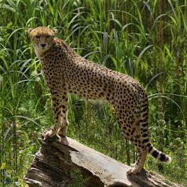 Cheetah by Sandra Cockayne - Animals Lions, Tigers & Big Cats ( cats, big cat, cheetah, cat, big cats, sandra cockayne, sandi cockayne, fur, claws, feline )