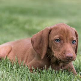 Blue Eyed Pup by Sue Matsunaga - Animals - Dogs Puppies
