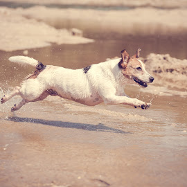 Having fun by Wilma Heuvel - Animals - Dogs Running ( jack russel, dogs, honden, petts, dog, hunde, animal )
