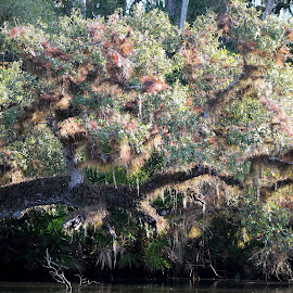 LIMB ON THE RIVER by Patti Westberry - Landscapes Forests ( fern, tree, moss, limb, river oak )