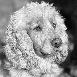 White & Black Oscar by Chrissie Barrow - Black & White Animals ( curly, monochrome, black and white, cocker spaniel, pet, fur, ears, grey, dog, mono, nose, portrait, eyes, animal )