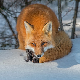 Sly Red Fox by Steve Dunsford - Animals Other Mammals ( fox, ontario parks, wildlife, ontario, wildlife photogrpahy, mammal, portrait, red fox, winter, nature, algonquin, snow, nature photography, algonquin park, animal )