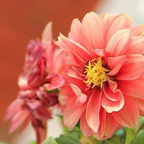 Dahlias - Colour of Blossom by Prachi More - Flowers Single Flower ( orange, dahlias, peach, yellow, blossom, soft )