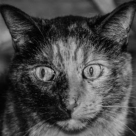 Ms. Kitten by Darrin Ralph - Animals - Cats Portraits ( cat, black and white, pet, feline, eyes )