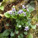 Long-Spurred Violet