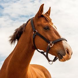 Chestnut Portrait, Sky Background  by Vicki Roebuck - Animals Horses ( horse portrait, chestnut, sky, gentle, gelding )