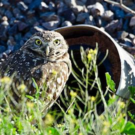 Burrowing Owl by Steve Forbes - Animals Birds ( bird, owl, raptor, burrowing, owls )