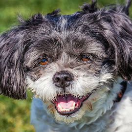 Shis Tzu by Dave Lipchen - Animals - Dogs Portraits
