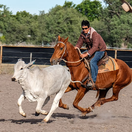 Got you covered! by Brent McKee - Animals Horses ( galloping, camp draft, fuji x, horse, heifer, gregory, brahman )