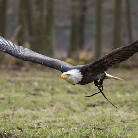 I can fly by Kai Buddensiek - Animals Birds ( wisentgehege springe, haliaeetus leucocephalus, animals, 100-400, bald eagle, tiere, weißkopfseeadler )