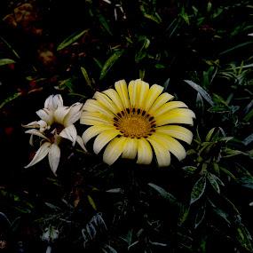 African Daisy by Ashwathi Madhavan - Flowers Flower Gardens (  )