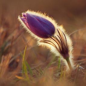 Pulsatilla grandis by Jiri Cetkovsky - Flowers Single Flower ( single, purple, sunset, pulsatilla, flower,  )