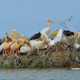 Family by Tomasz Budziak - Animals Birds ( pelicans, africa, birds )