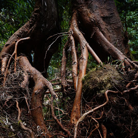 Rooted by Lilaine Lai - Nature Up Close Trees & Bushes ( cameron highlands, tropical rainforest, mossy forest, roots, malaysia )