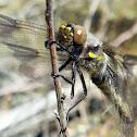 Eight-spotted skimmer(female)