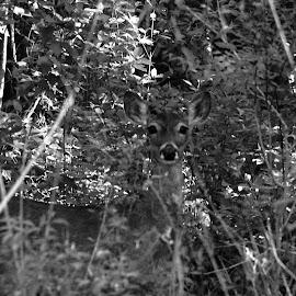 hiding by Brenda Shoemake - Black & White Animals (  )
