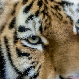 Siberian Tiger by Steve Cowling - Animals Lions, Tigers & Big Cats ( banham zoo, tiger face, steve cowling, siberian tiger, tiger )