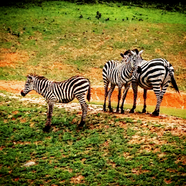 Do These Stripes make my butt look big by Renee Burmer - Instagram & Mobile iPhone ( animals, zoo, natural bridge, virginia, zebras )