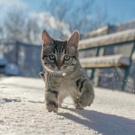 Little Bobex in the snow  by Stefan Tanase - Animals - Cats Kittens ( wintercat, kitty snow, snowcat )