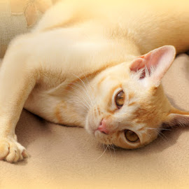 Tom by Caroline Beaumont - Animals - Cats Portraits ( kitten, cat, red, lying down, burmese, eyes )