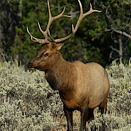 Elk by Robert Remacle - Animals Other Mammals (  )