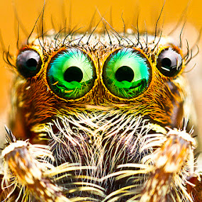 Jumping spider by ธเนศ ขวยไพบูลย์ - Animals Insects & Spiders ( canon, macro, mp-e65, spider, lens )