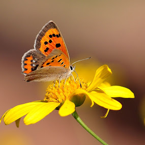 Small copper by Horia Scubli - Animals Insects & Spiders ( butterfly )