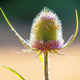 Thistle art 2  by Mark  Harris - Abstract Macro