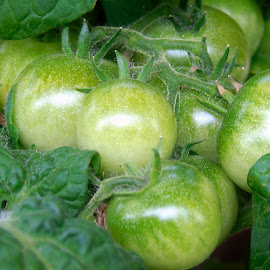 GREEN TOMATOES by Wojtylak Maria - Food & Drink Fruits & Vegetables ( tomatoes, green, garden, vegetables, food, unripe,  )
