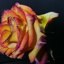 Rainbow Rose 3 Side View by Dave Walters - Flowers Single Flower ( rose, macro zoom, colors, flowers, lumix fz2500 )