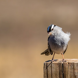 Curious White Crown Sparrow on Post by Jim Hendrickson - Novices Only Wildlife ( oklahoma, crown, white, portrait, sparrow )