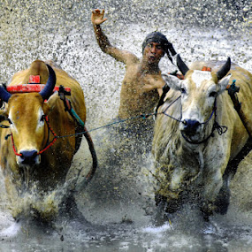 cow race.. by Febriyanto BasaluakPerak - News & Events World Events