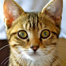 Neron by Serge Ostrogradsky - Animals - Cats Kittens