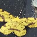 Xanthotype Moth