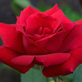 by Anita Frazer - Flowers Single Flower ( plant, rose, red, mr. lincoln, single flower,  )