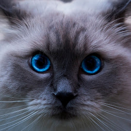 Ragdoll by Andreas Skjelvik - Animals - Cats Portraits ( #ragdoll #cat #portrait )