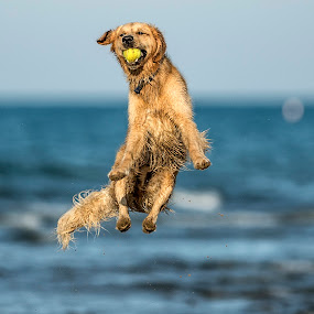 by Harold Blum - Animals - Dogs Playing ( dogs, jumping, color, play, beach, wet, chicago )