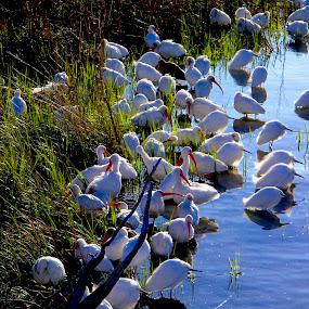by Hugh McLaren - Animals Birds (  )