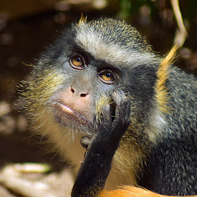 I'm Thinking... by Shawn Thomas - Animals Other Mammals ( wildlife, primate, yellow, monkey, mammal,  )