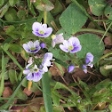 Thyme-leaved Speedwell