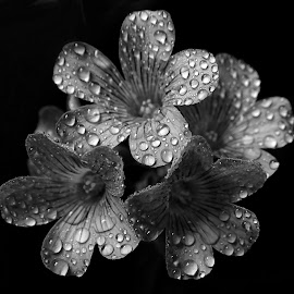 Wood sorrel  by Asif Bora - Black & White Flowers & Plants