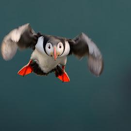 Puffin by Frode Wendelbo - Animals Birds ( seabirds, wildlife, birds, runde, puffin, norway )