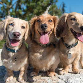 Three Dachsunds by Jennifer Wollman - Animals - Dogs Portraits ( animals, pet photography, dogs, dachshund (miniature long haired), dog portrait, dachsunds, dog photgraphy )