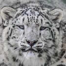 Jamir by Garry Chisholm - Animals Lions, Tigers & Big Cats ( big cat, garry chisholm, predator, carnivore, nature, wildlife, snow leopard )