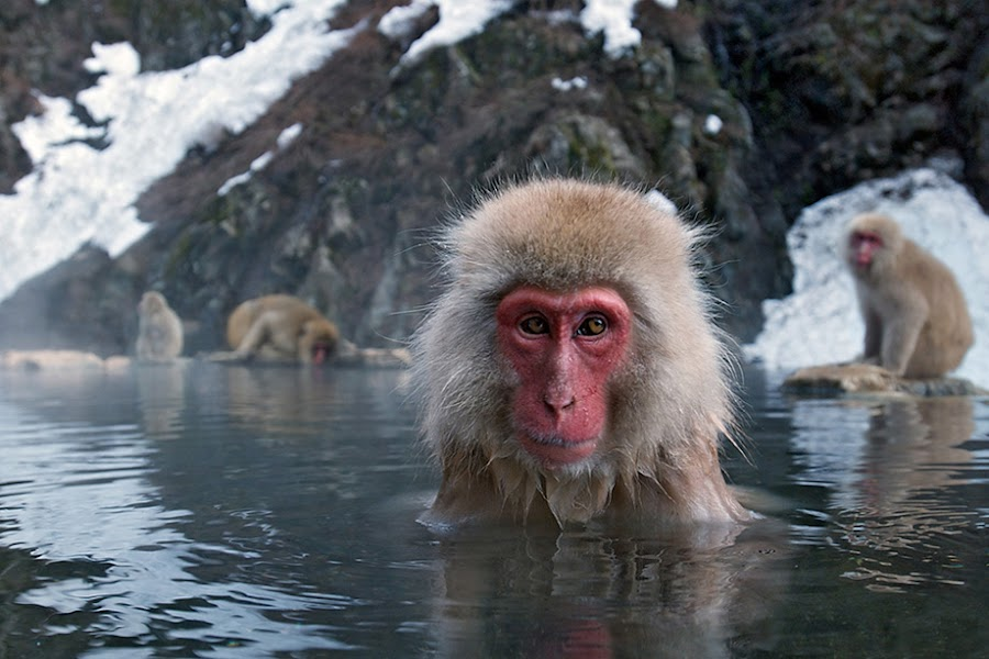 Snow Monkey by Sean Crane - Animals Other Mammals