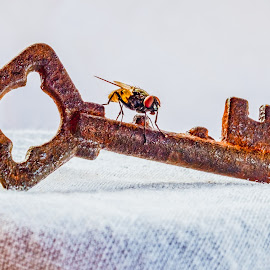 The flying key by Opreanu Roberto Sorin - Artistic Objects Antiques ( tiny, studio, nobody, old, single, retro, vibrant, security, rusty, house, used, ensuring, insect, photography, padlock, close, colour, over, macro, nature, metal, closed, objects, closeup, biology, key, isolate, safe, isolated, animals, keys, green, lock, still, material, sitting, safety, red, fly, color, pest, background, bug, locked, big, small, golden )