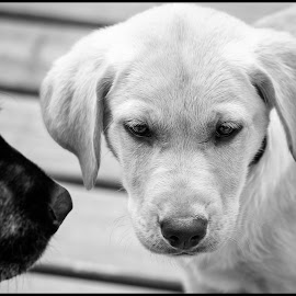 The Scoulding by Dave Lipchen - Black & White Animals ( yellow lab, black lab )